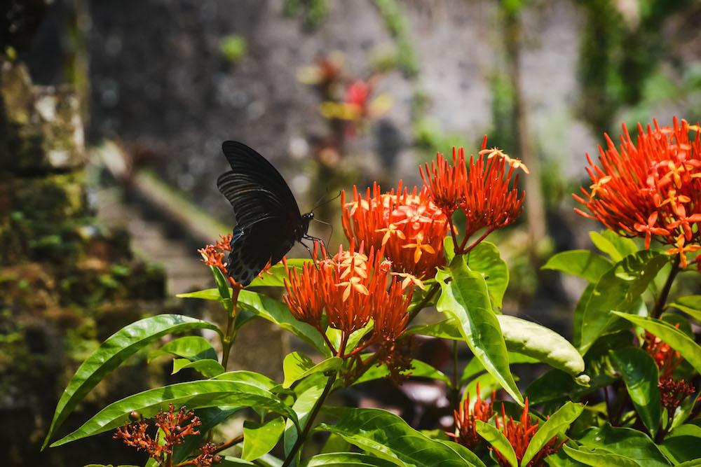 Schmetterling-Bali