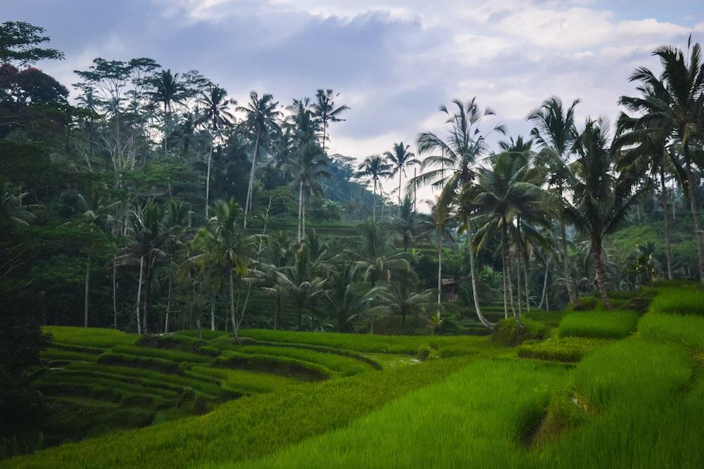 Schoene-Reisterasse-Bali