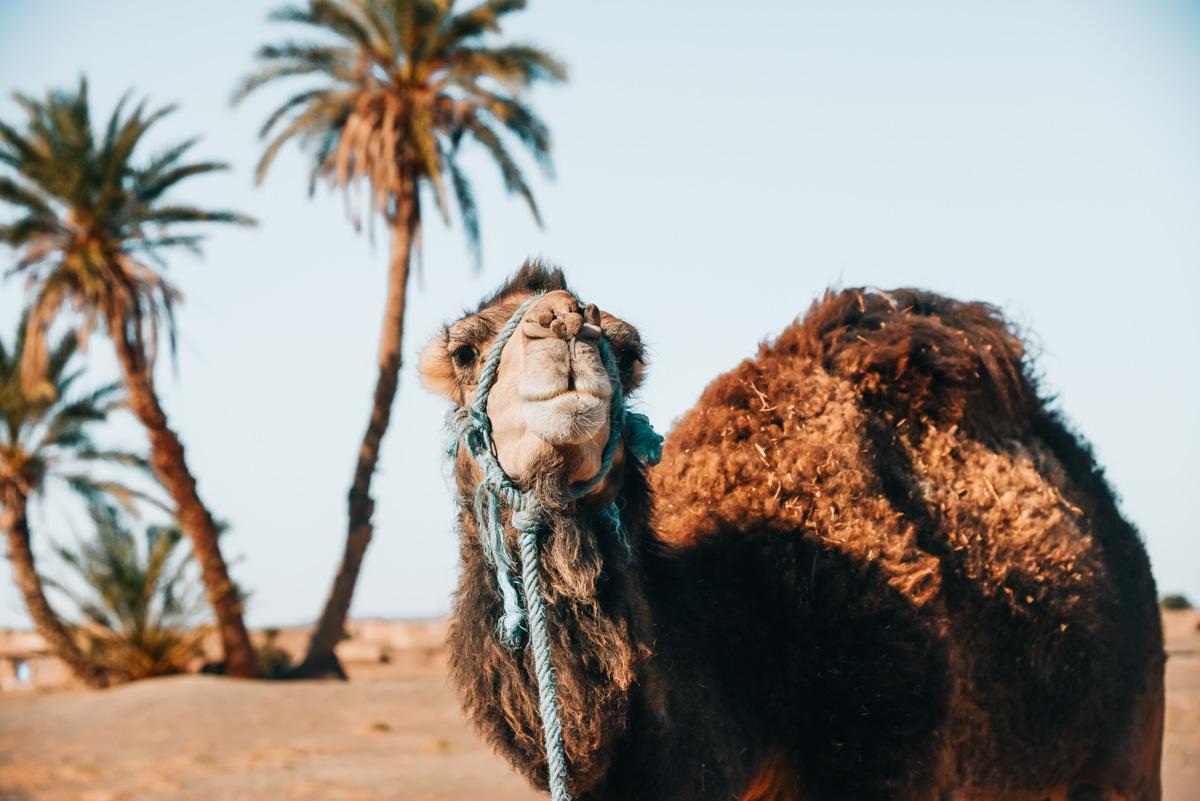 Kamelreiten Marokko