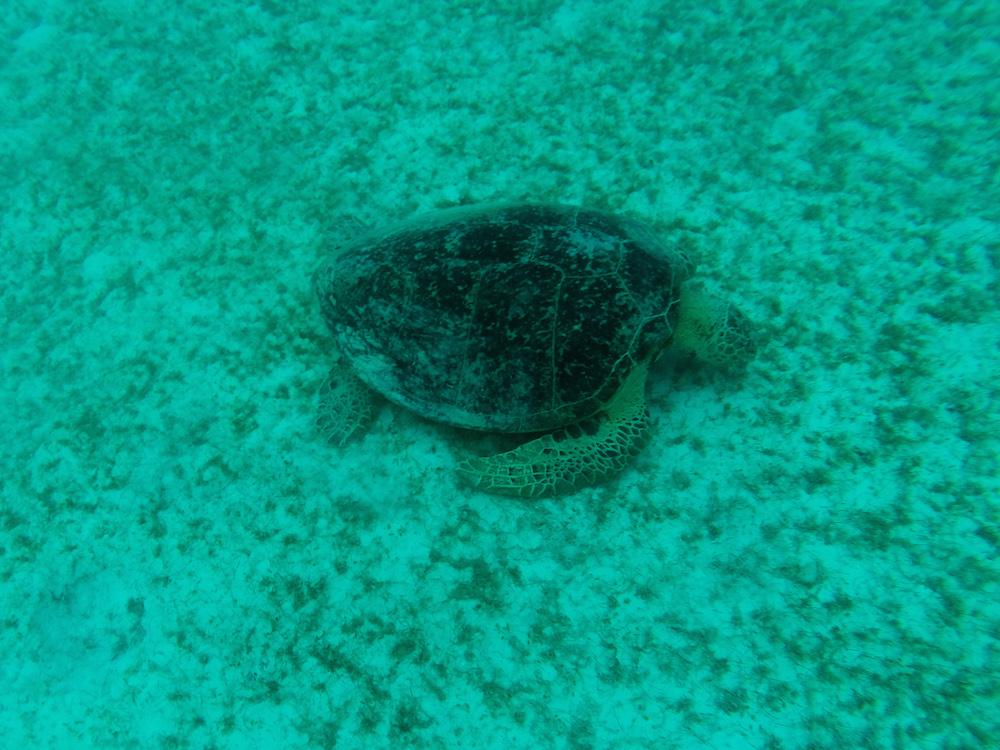 Schildkröte Schorcheln