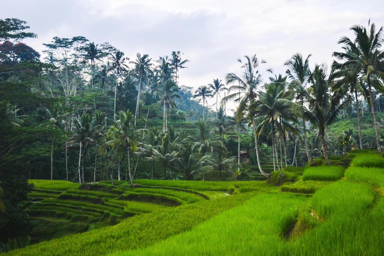 Reisterassen-Ubud-Bali