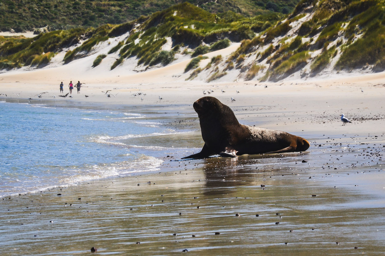 Sandfly-Beach-Neuseeland-Seelöwe