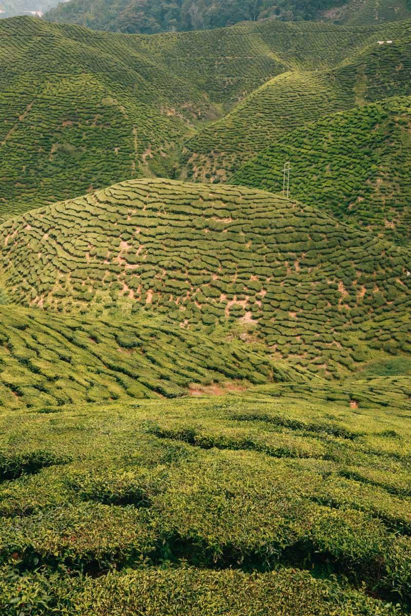 Cameron-Highlands-Teeplantagen