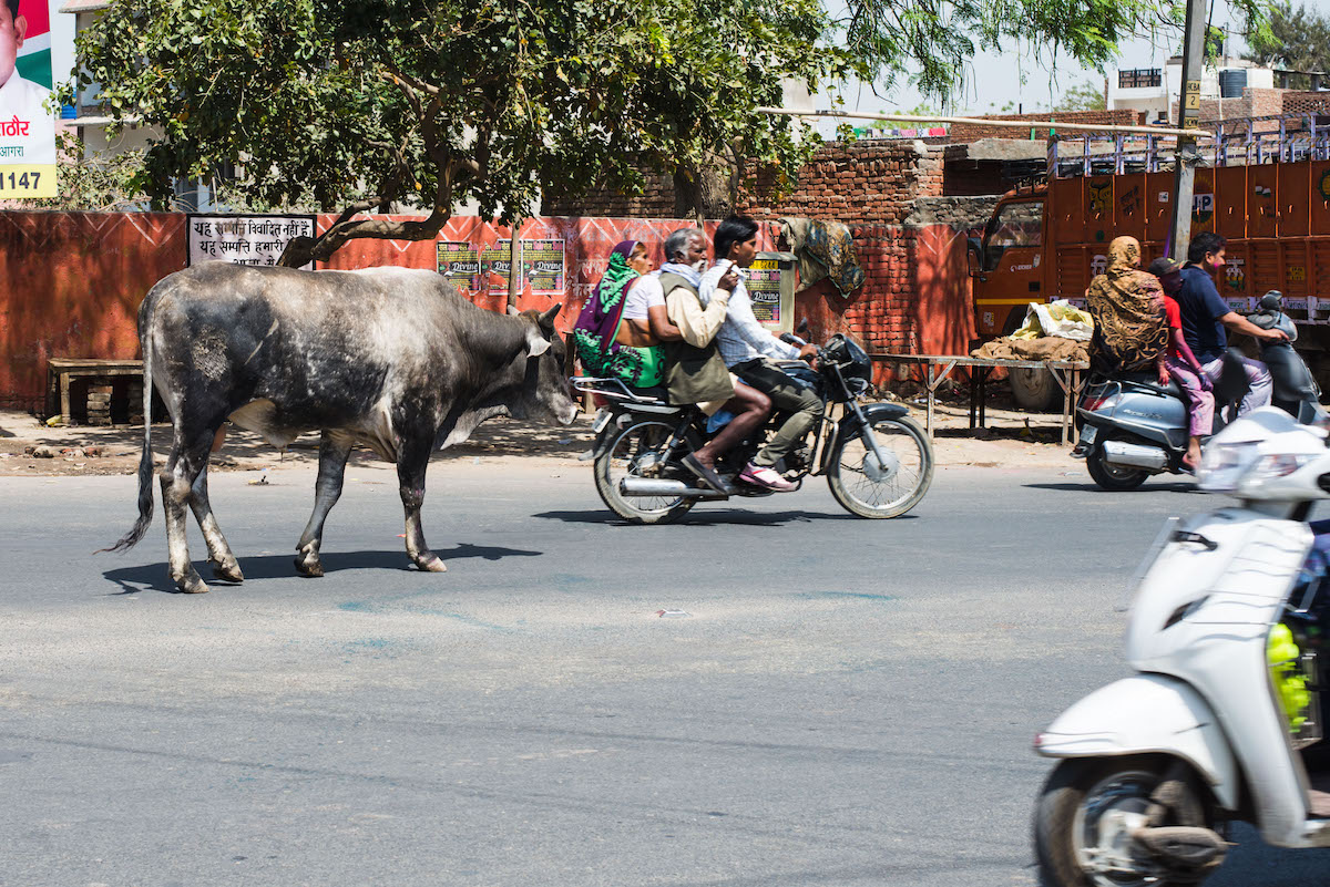 Cow-India-traffic