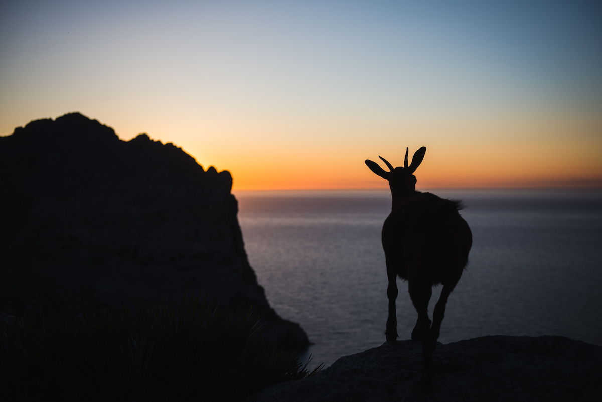 Ziege-Sonnenuntergang-Mallorca