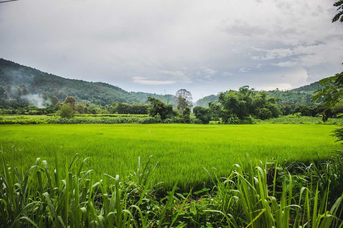 reisfelder-chiang-mai