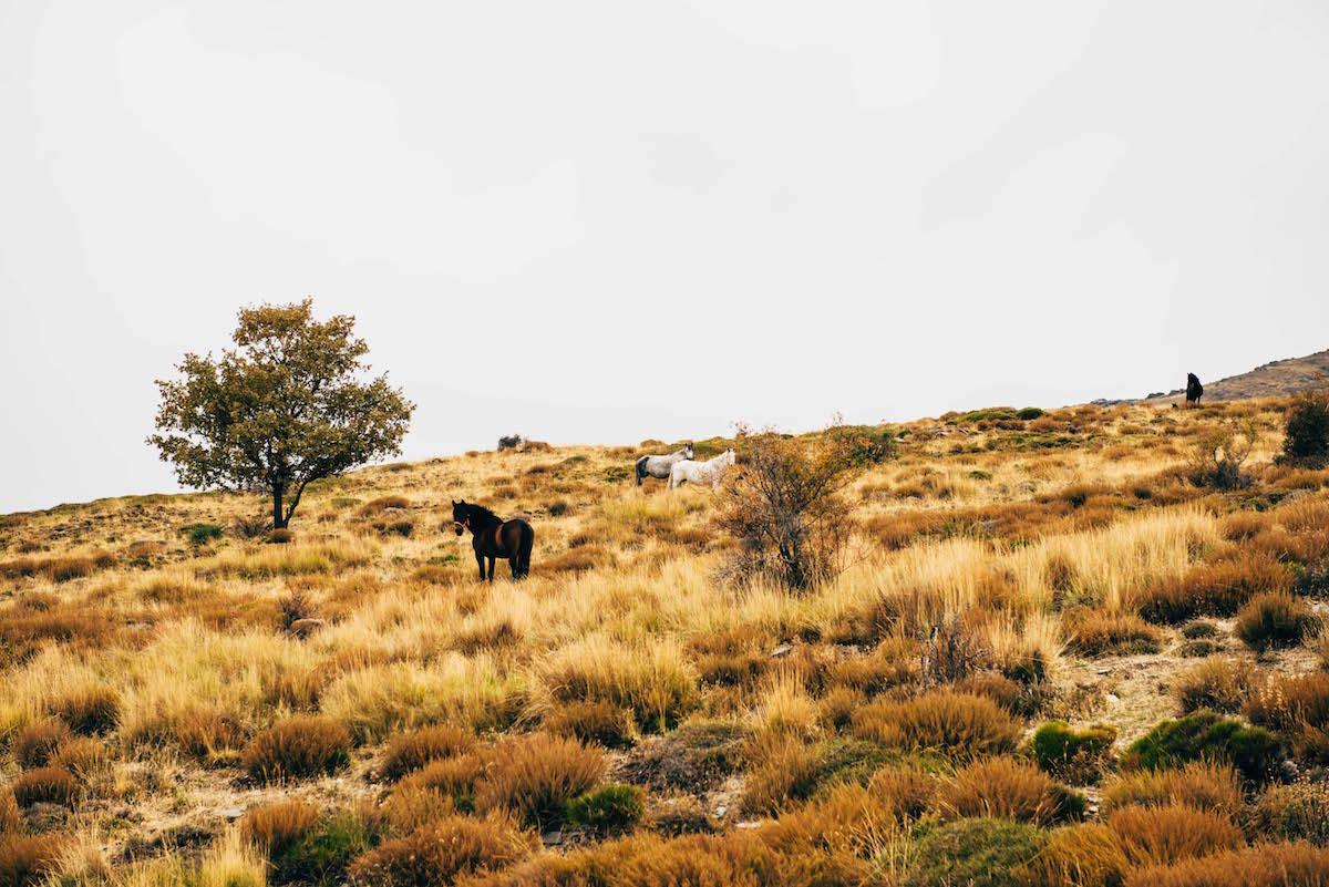 sierra-nevada-pferde
