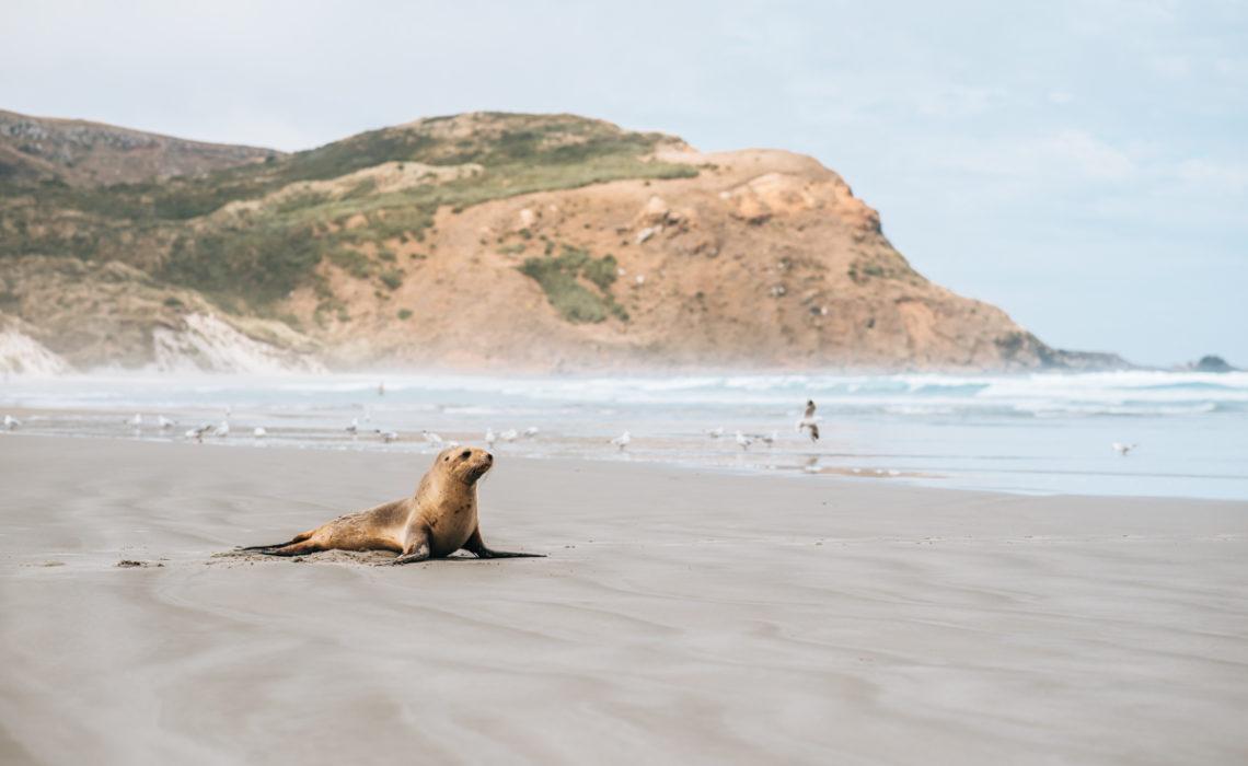 Robben beobachten Neuseeland