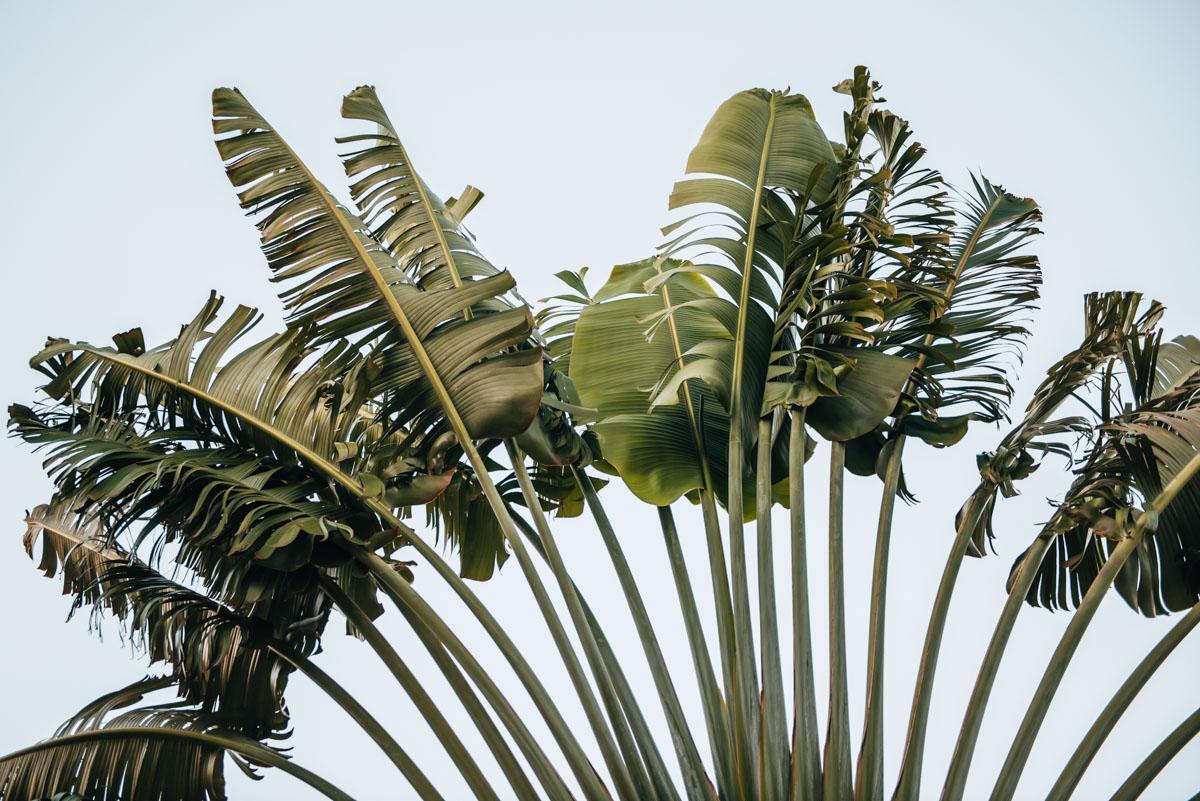 Jamaika Palmen