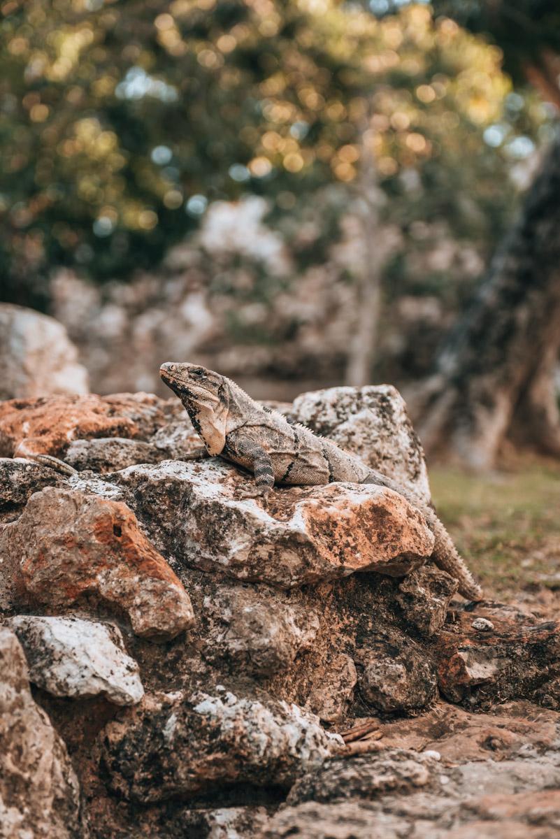 Leguane Yucatan