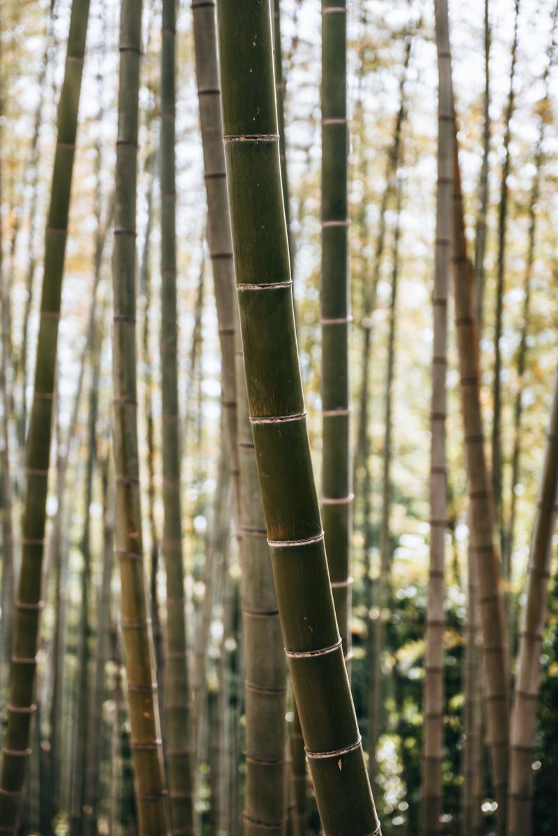 Kodai ji Bambuswald