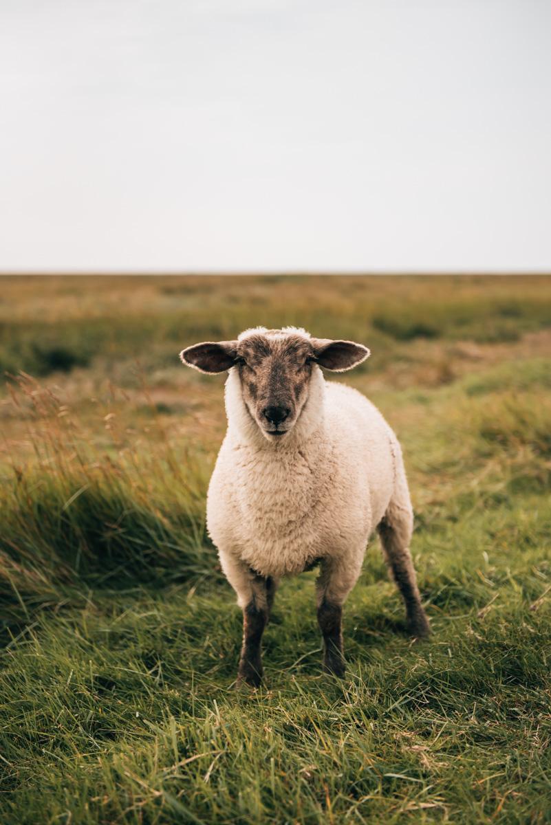 Hamburger Hallig Schafe