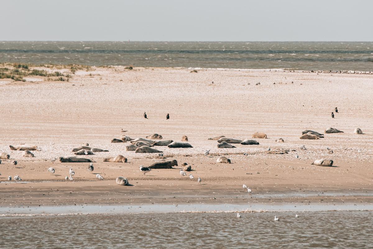 Nordsee Seehunde