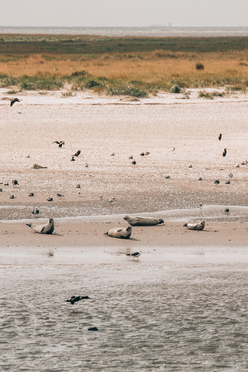 Robben Nordsee