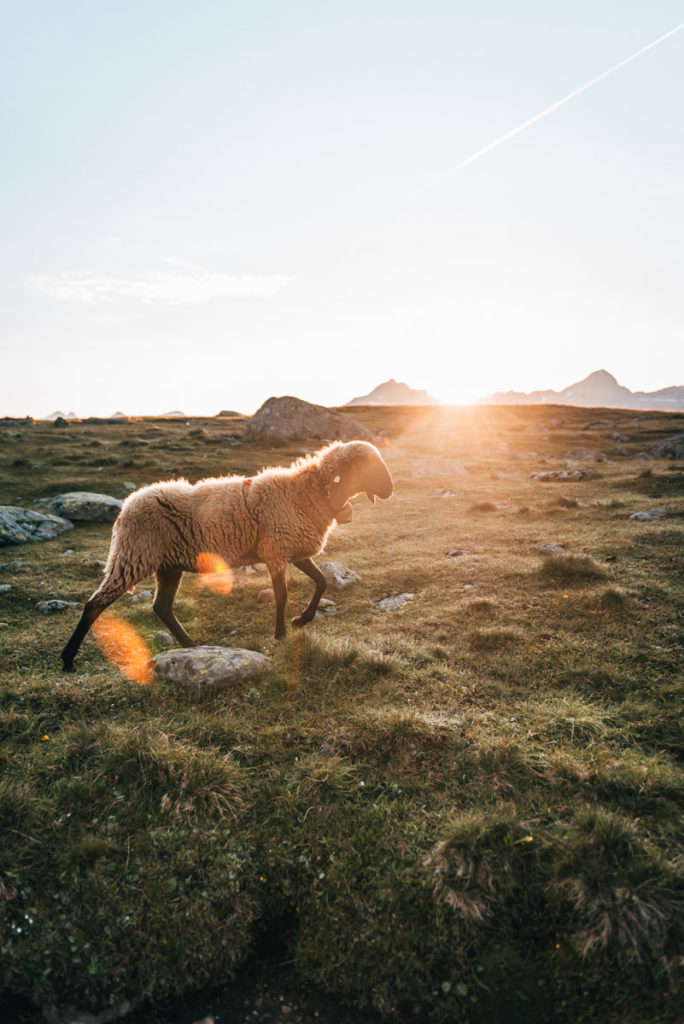 Ötztal Schafe