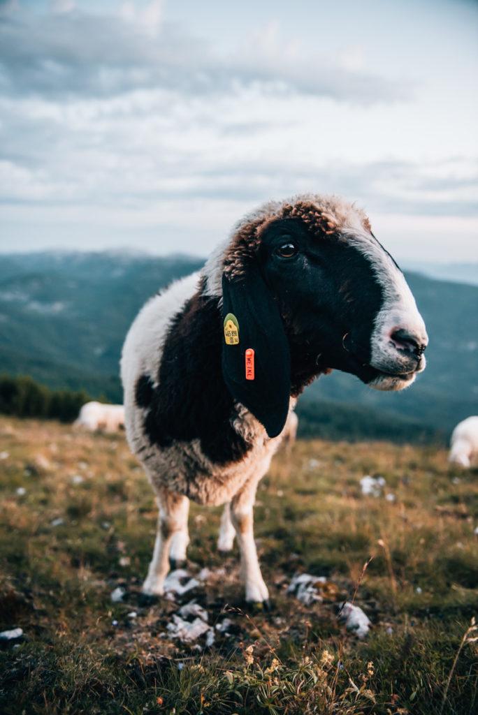 Stoderzinken Schafe